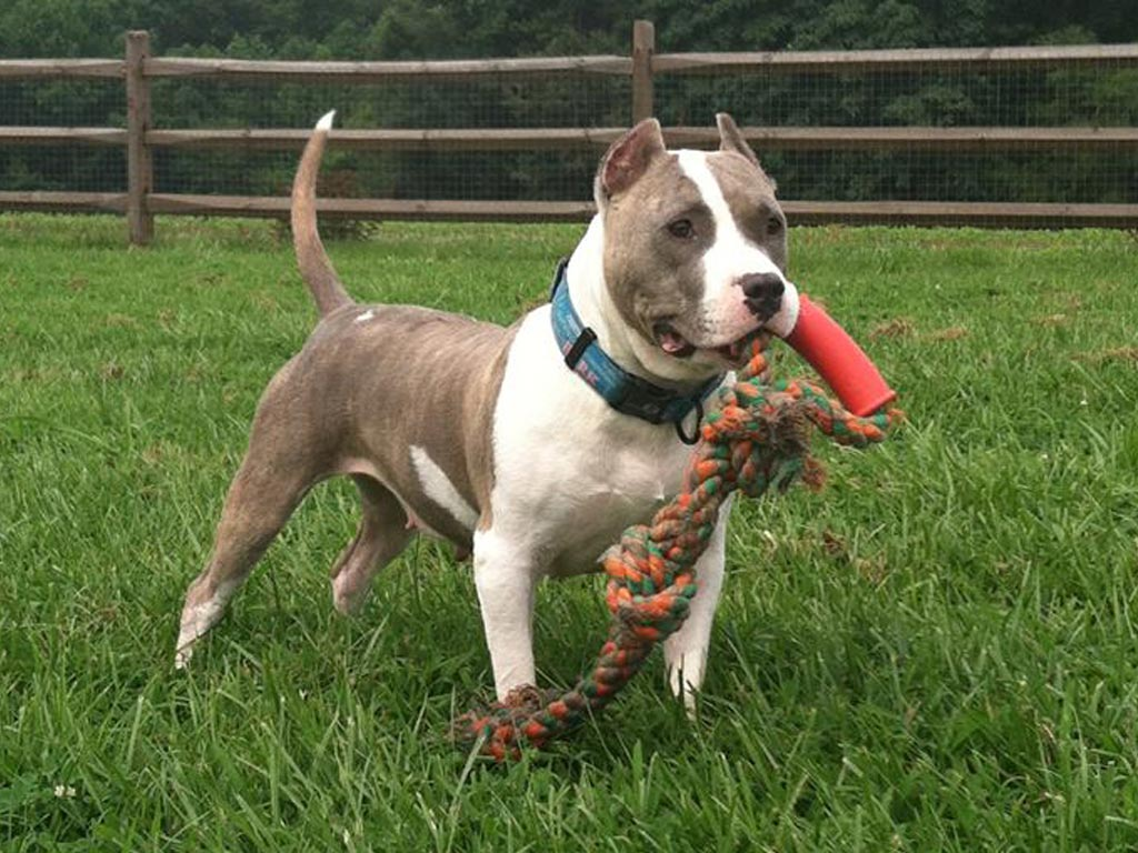 A Happy Healthy American Pit Bull Terrier American Pit